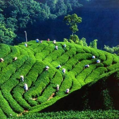 Jhuhai Tea Plantation Scenic Area,Jhushan