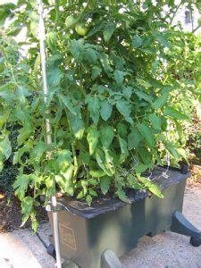 Earth Box - Growing Tomatoes